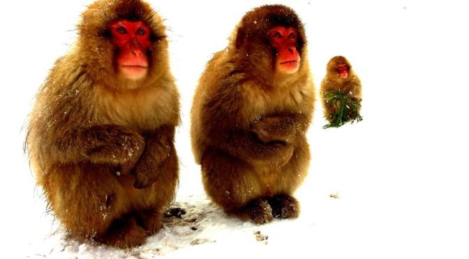 今や世界的!温泉に入る野生のニホンザルを見に行くスノーモンキーツアー!