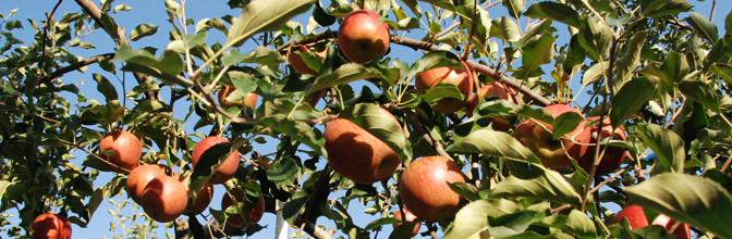 フルーツ王国信州。ぶどう狩り、りんご狩りを楽しむ!塩崎農園